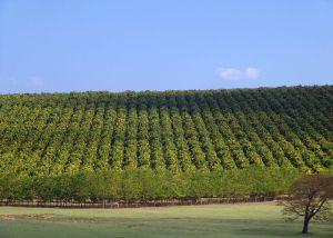 Orange Orchard – Bahia Photo Credit: José Reynaldo da Fonseca via Wikimedia Commons